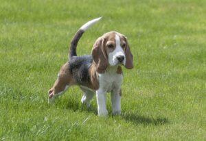 Beagle Hundeschwimmweste