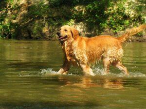 Golden Retriever Hundeschwimmweste